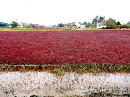 Cranberry bogs_Flickr CC