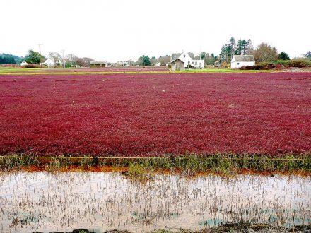 Cranberry bogs_Flickr CC